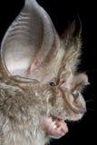 Hildebrandt's Horseshoe Bat Stock Image