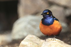 Hildebrandt's starling Royalty Free Stock Image