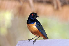 Hildebrandt Starling Stock Photography