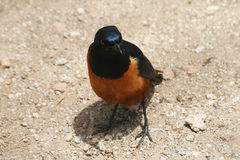 Hildebrandt starling Royalty Free Stock Photo