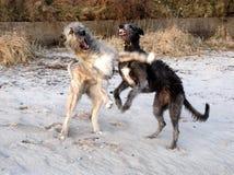 schottischer wolfshund stockbild bild von reinrassig 36658673. Black Bedroom Furniture Sets. Home Design Ideas