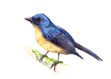 Hill μπλε Flycatcher Στοκ Φωτογραφία