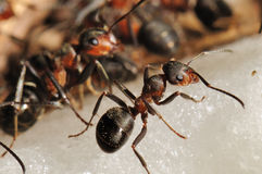 Hill ant  (Formica rufa) Royalty Free Stock Photography