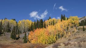 Hill of Aspens. Hillside of aspens in fall colors with wispy white clouds moving in the background. Shot in the Uncompahre National Forest, Colorado. Camera stock footage