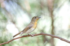 Hill blue flycatcher Stock Image