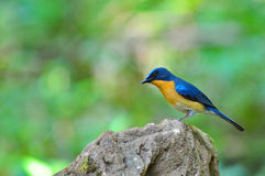 Hill Blue Flycatcher bird Stock Images