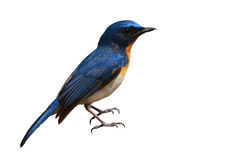Hill Blue Flycatcher bird Royalty Free Stock Images