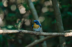 Hill Blue Flycatcher on a branch Stock Photography