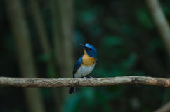 Hill Blue Flycatcher on a branch Royalty Free Stock Images