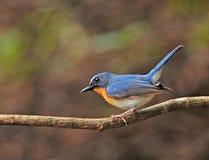 Hill Blue Flycatcher Stock Photography