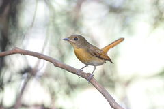 Hill blue flycatcher Cyornis banyumas Stock Images