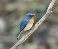 The Hill Blue Flycatcher (Cyornis banyumas) Royalty Free Stock Image