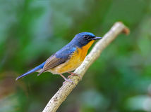 Hill Blue Flycatcher or Cyornis banyumas. Royalty Free Stock Image