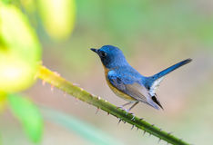 Hill Blue Flycatcher or Cyornis banyumas. Stock Photos