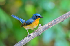 Hill Blue Flycatcher or Cyornis banyumas. Stock Images