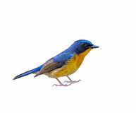 Hill Blue Flycatcher or Cyornis banyumas. Royalty Free Stock Photography