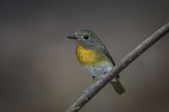 Hill Blue Flycatcher (Cyornis banyumas) Royalty Free Stock Photo