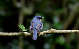 Hill blue flycatcher Cyornis banyumas male Royalty Free Stock Images