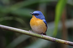 Hill blue flycatcher Cyornis banyumas Male cute birds of thailand Stock Image