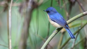 Hill Blue Flycatcher stock video