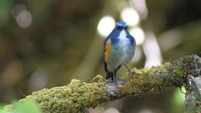 Hill Blue Flycatcher (Cyornis banyumas) in nature stock video footage