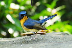 Hill Blue Flycatcher Royalty Free Stock Image