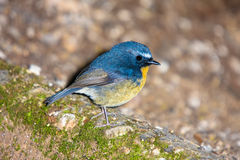 Hill Blue Flycatcher Stock Photography