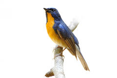 Hill blue flycatcher male Royalty Free Stock Image
