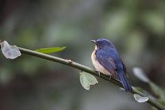 Hill Blue-flycatcher Royalty Free Stock Image