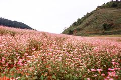 Hill of buckwheat flowers at sunny day in Ha Giang, Vietnam Royalty Free Stock Image