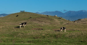 Hill Cattle Royalty Free Stock Photo