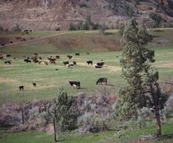 Hill cattle Stock Photography