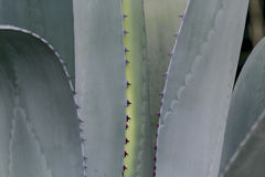 Hill Country Agave Royalty Free Stock Photography
