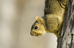 Hill Country Squirrel. Squirrel shot in Kerrville, Texas Stock Photos