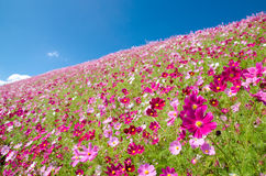 Hill covered with pink cosmos Stock Photo