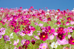 Hill covered with pink cosmos Stock Images