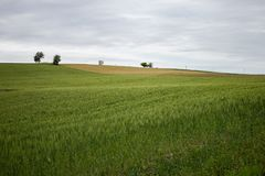 The hill among the cultivated fields of wheat. Cultivated wheat field in the hills of the Marche region. The photo was taken in the province of Ancona in the stock photography