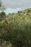 Olive plantation in the hills with the sea in the background royalty free stock image