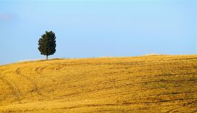 Hill and cypress. Summer straw on field with tree on horizon Stock Image