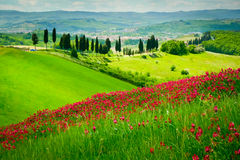 Hill and cypresses. Hill covered by red flowers overlooking a road lined by cypresses on a sunny day near Certaldo, Tuscany, Italy Stock Images