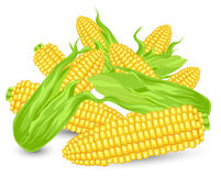 Hill Ears of ripe corn. Agricultural, reaped crop, illustration Royalty Free Stock Image
