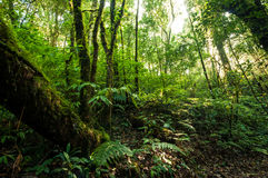 Hill Evergreen Forest Royalty Free Stock Image