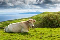 Hill of farm fields and cows in the Corvo island in Azores, Portugal