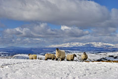 Hill farm sheep in snow. A small flock of sheep on a snow covered  hill farm in the English Lake District Stock Photos