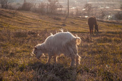 Hill Goat II. This picture was took on a small hill near Ploiesti Stock Image