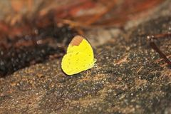 Hill Grass Yellow butterfly Is on a rock. Hill Grass Yellow butterfly The body size is about 40-45 millimeters royalty free stock photography