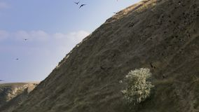 Hill with large flock of birds stock footage