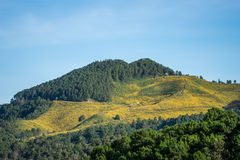 The hill of Mexican sunflower (Dok Buatong) field Stock Photos