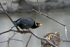 Hill myna. A Hill myna standing on dry branch Royalty Free Stock Images