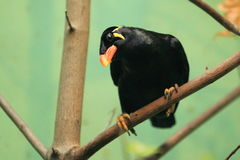 Hill myna. The hill myna sitting on the tree Royalty Free Stock Photography